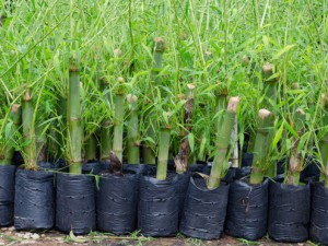comprar-mudas-de-bambu
